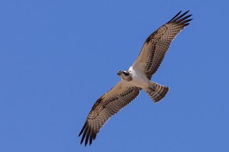 Birds-online.ch - Vogelarten - Greifvögel - Fischadler