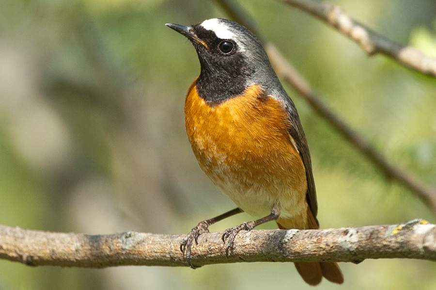 birds vogelarten singv gel gartenrotschwanz. Black Bedroom Furniture Sets. Home Design Ideas
