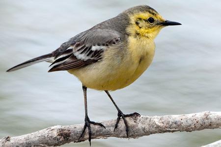 birds vogelarten singv gel zitronenstelze. Black Bedroom Furniture Sets. Home Design Ideas